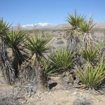 """""""One of the many of the Yucca Tree caches"""""""