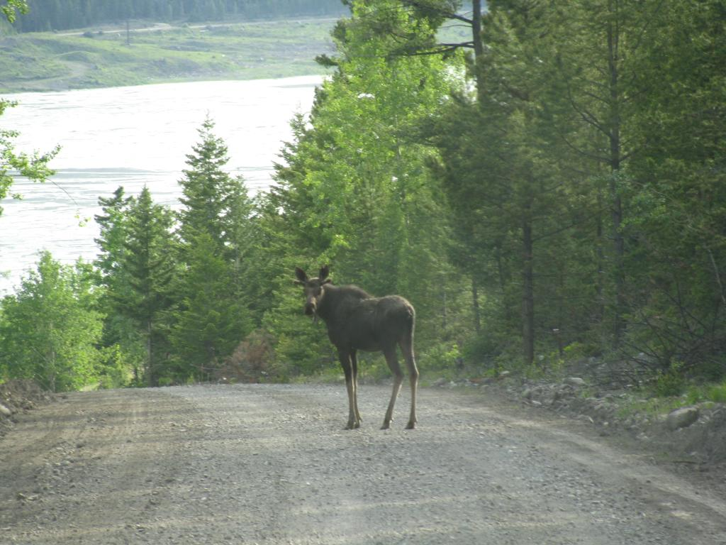 Moose in the middle of the road
